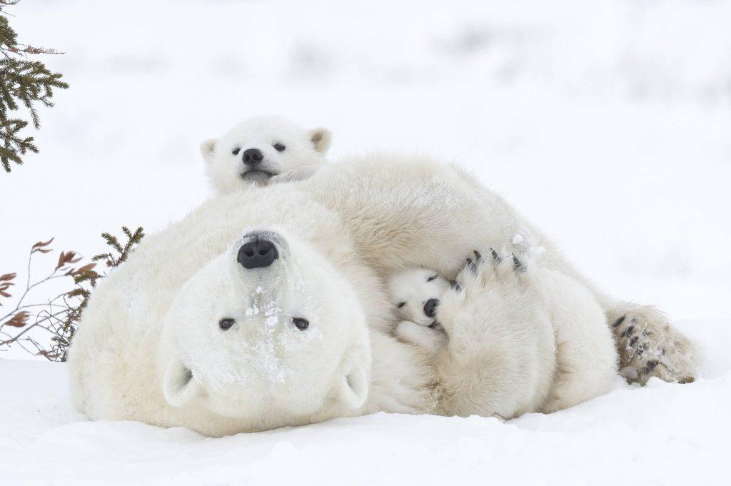 Смешные картинки, картинки белые медвежата и мама